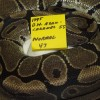 Ball Python on eggs, Double Het Axanthic and Caramel to Normal