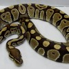 Ball Python, TCR Special Male