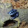 Poison Arrow Frog, Blue Azureus