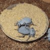 Blue Death Feigning Beetles