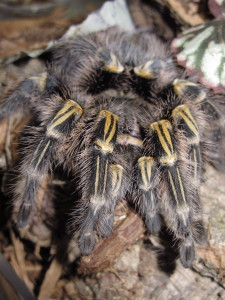 Grammostola pulchripes Female (1)