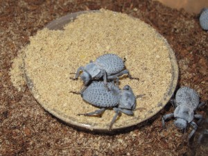 Blue Death Feigning Beetles (1)