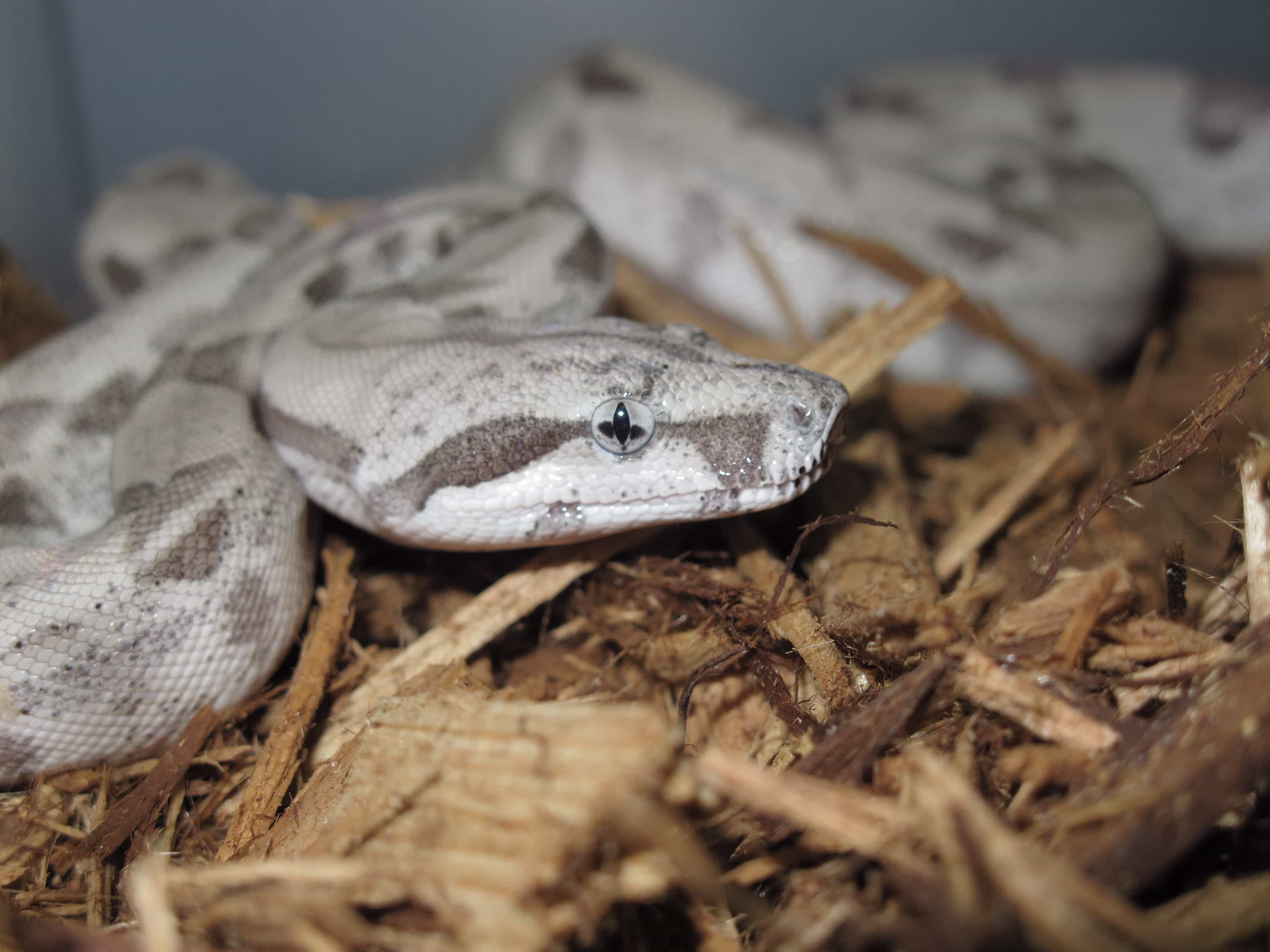 Ca Red Tail Boa Ghost: Available Boas – Billy Knight