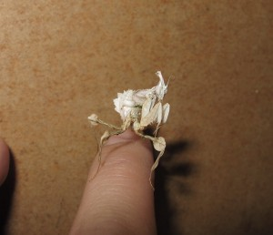 Devils Flower Mantis Idolomantis diabolica (7)