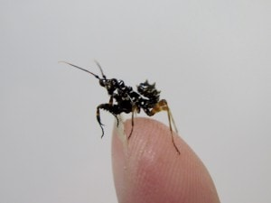 Spiny Flower Mantis Pseudocreobotra wahlbergi (4)