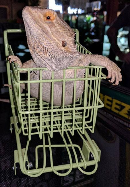 Lizard in Cart