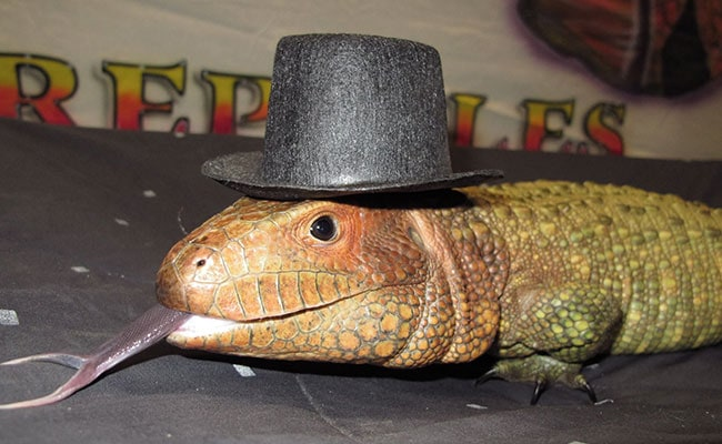 Lizard with Hat