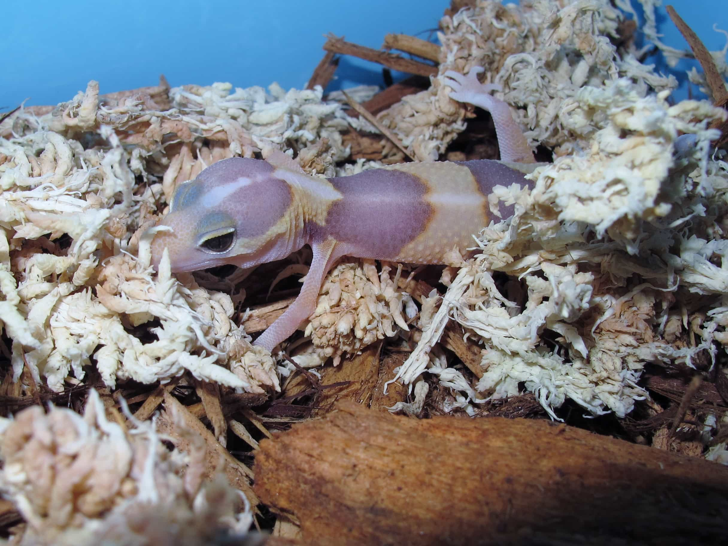 Amel African Fat Tail Gecko