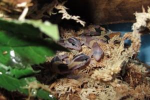 African Fat Tail Geckos (3)
