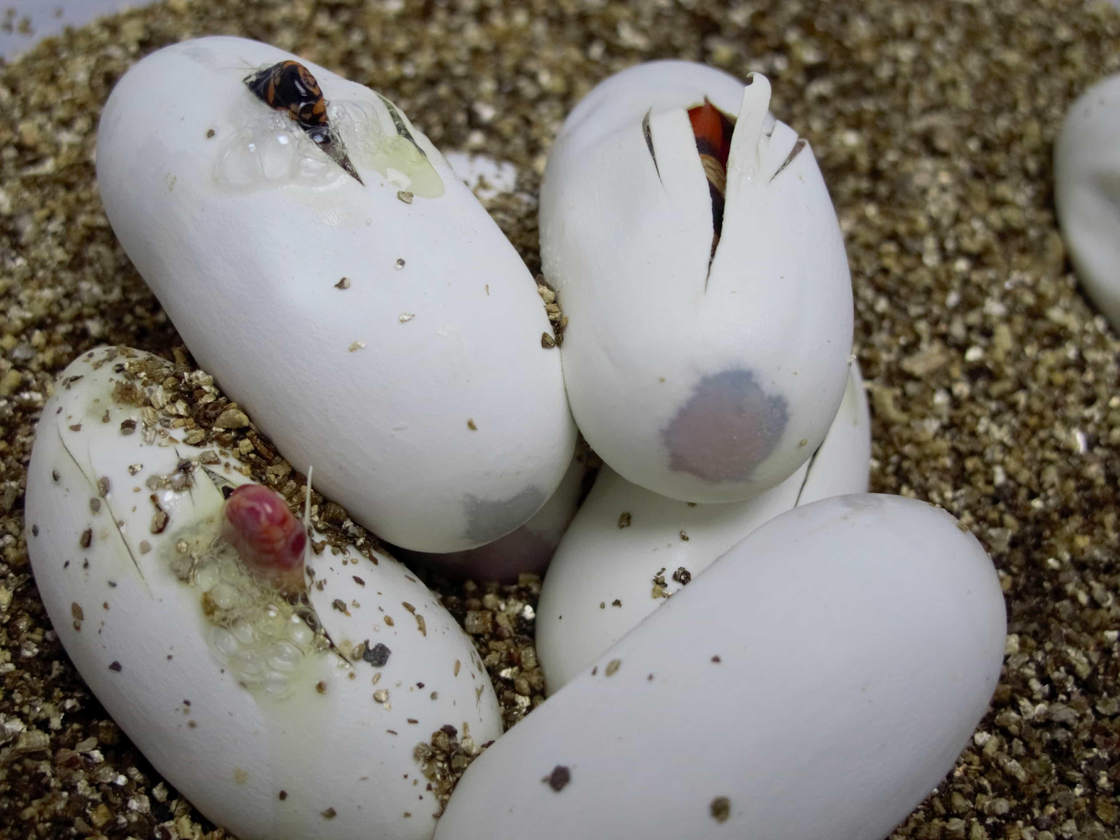 Honduran Milksnakes Hatching