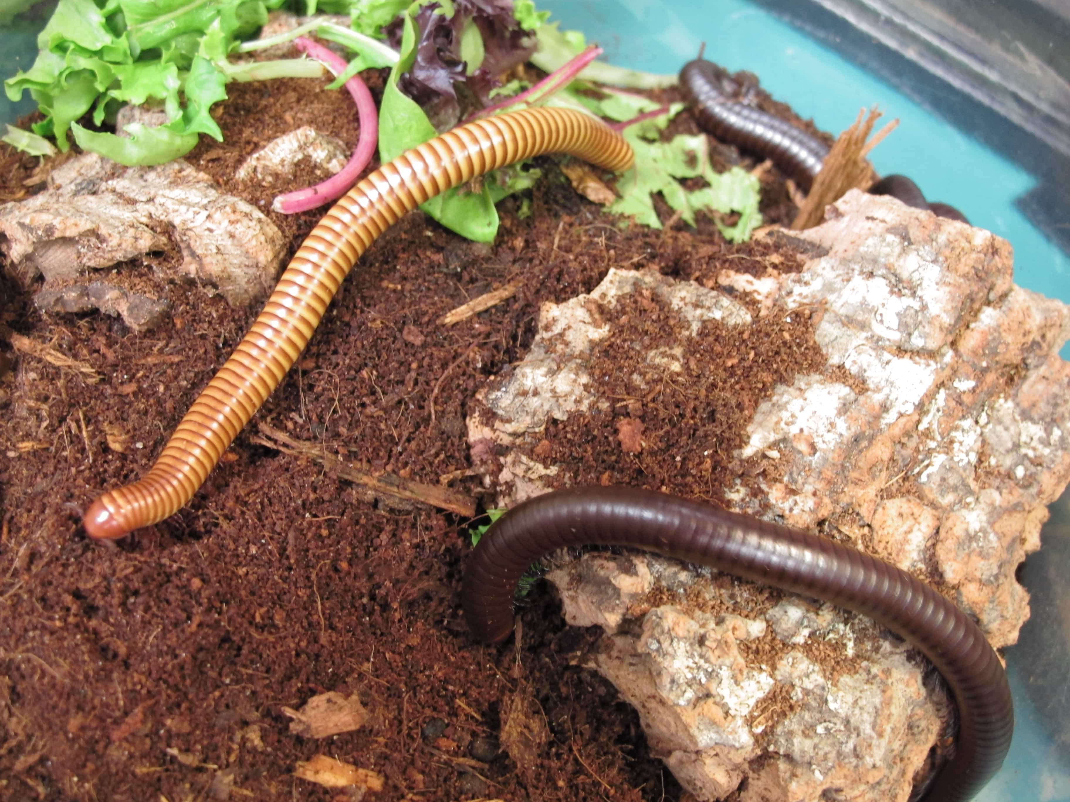 Giant Texas Brown and Gold Millipede - Twin Cities Reptiles
