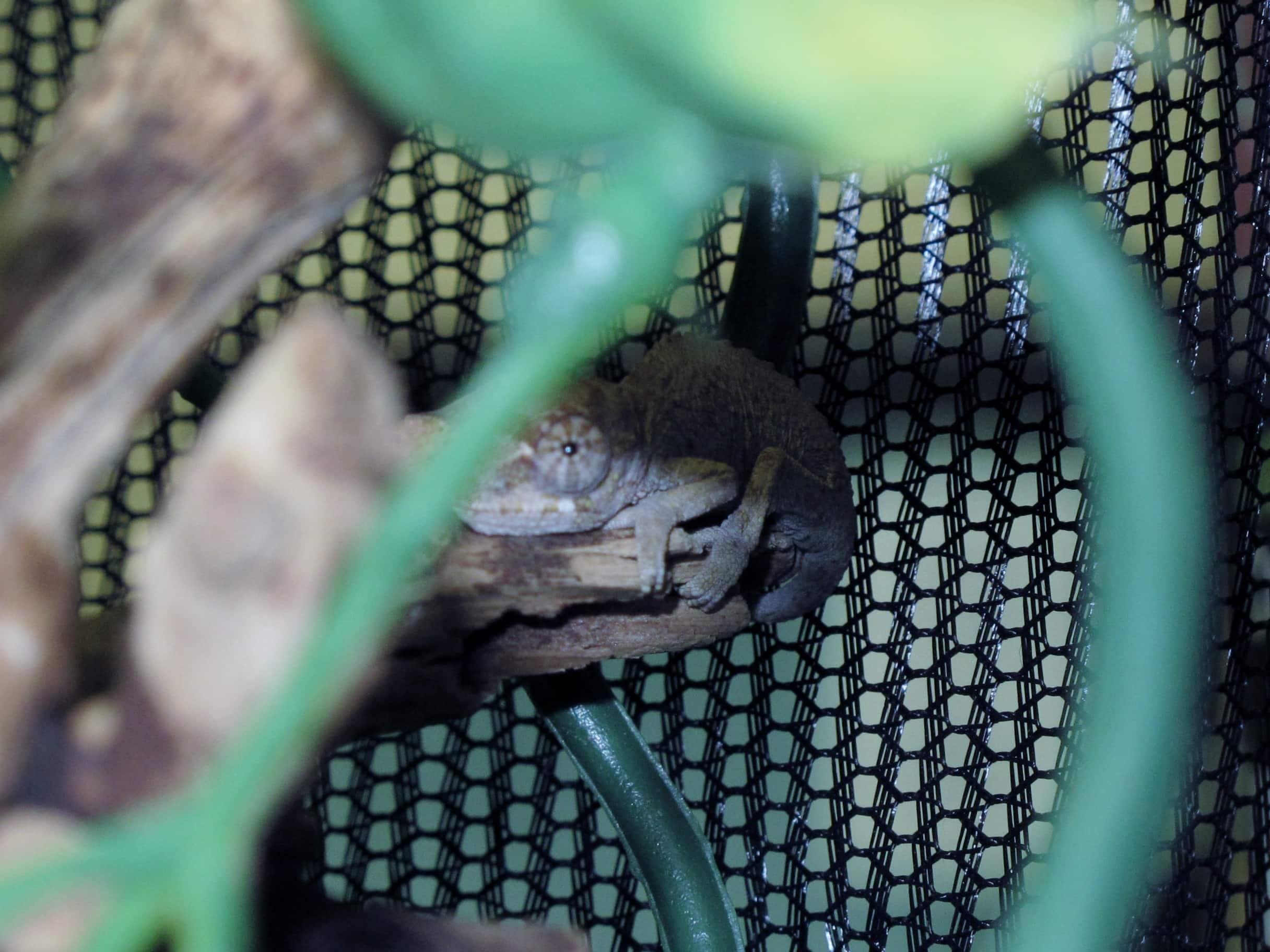 Baby Jackson's Chameleons