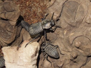 Black Death Feigning Beetles (1)