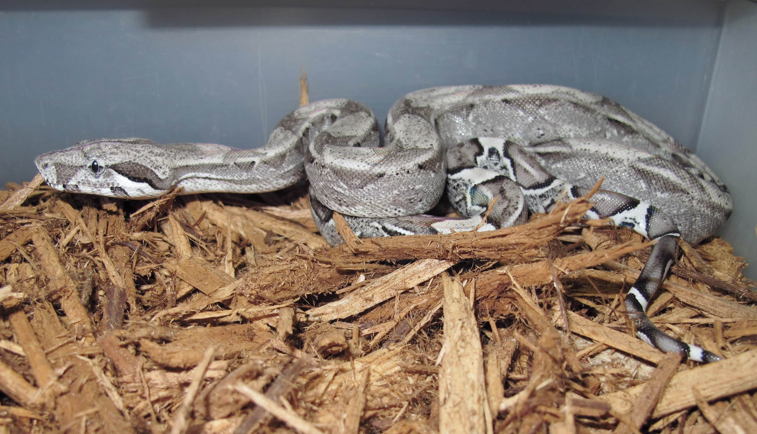 Red Tail Boas, Ghost and Anery Het Albino - Twin Cities Reptiles