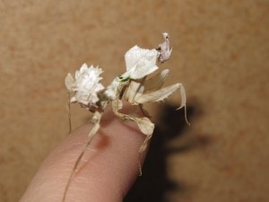 Devils Flower Mantis Idolomantis diabolica (3)