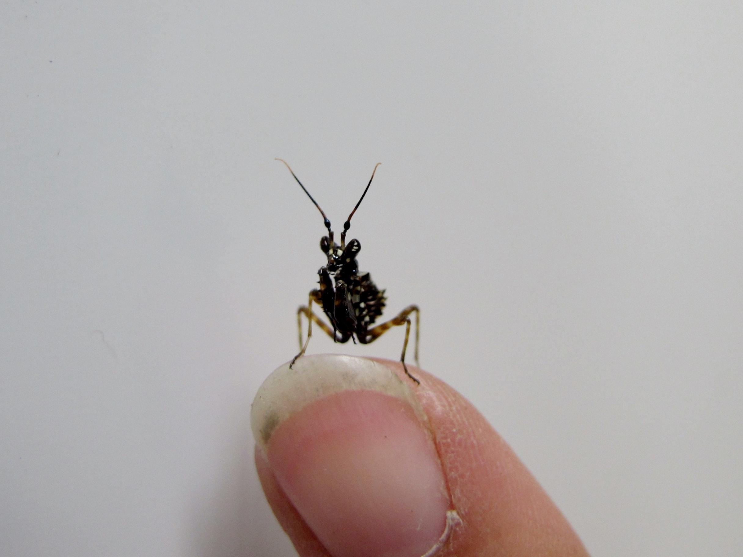 Spiny Flower Mantis (Pseudocreobotra wahlbergi)